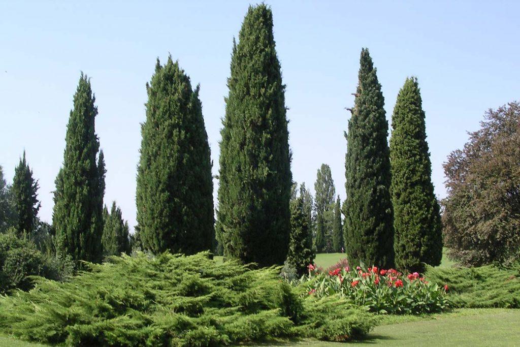 Cypress-Tree
