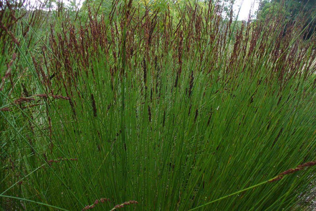 Reeds-Restionaceae