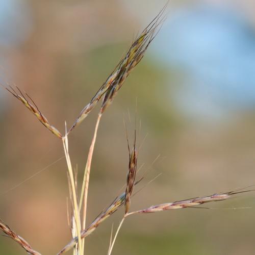 Thatch-Grass