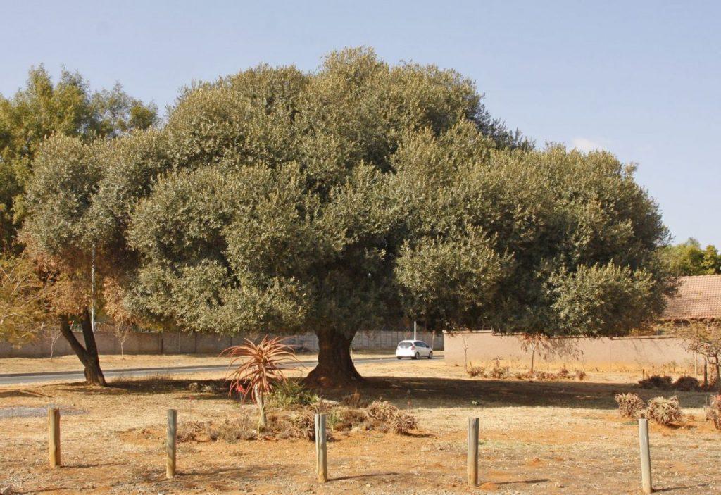 olive tree Olea-europaea-africana
